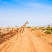 Free Giraffe in Kenya — Stock Photo