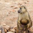 Foto Stock: Baboon in Kenya