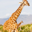 Free Giraffe in Kenya — Stock Photo #18360629