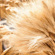 Stock Photo: Ripe Summer Wheat