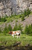 Koeien en Italiaanse Alpen — Stockfoto
