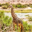 Free Giraffe in Kenya — Stock Photo