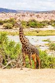 Giraffa gratis in kenya — Foto Stock