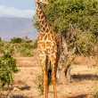 Free Giraffe in Kenya — Stock Photo #21244119