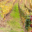 ItaliVineyard — Stock Photo #22020307