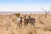 Zebras looking to the camera — Stock Photo