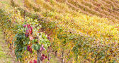 Italian Vineyard — Stockfoto