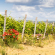 Tuscany Wineyard — Stock Photo #31856151