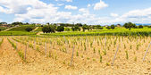 Tuscany Wineyard — Stock Photo
