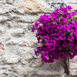 Tuscan flowers — Foto Stock