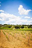 Тоскана виноградник — Стоковое фото