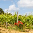 Tuscany Wineyard — Stock Photo #35973199