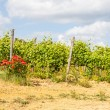 Tuscany Wineyard — Stock Photo #38180751