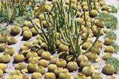 Kaktüs garden — Stok fotoğraf