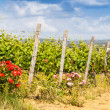 Tuscany Wineyard — Stock Photo #40924167