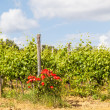 Tuscany Wineyard — Stock Photo #41408355