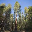 Giant Sequoias, Mariposa Grove — Foto Stock