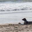 Stock Photo: Surfer's dog