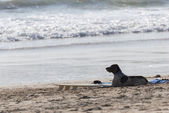 Surfer's dog — Stockfoto