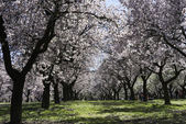 Almond trees, Madrid — Stock Photo