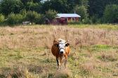 En el pasto de la vaca — Foto de Stock