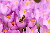 пчелы в крокус клумба — Стоковое фото