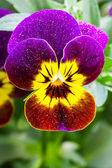 Colorful Pansy — Stock Photo