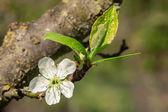 Flor de ameixa — Fotografia Stock