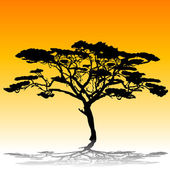 Acacia tree silhouette — Stock Photo