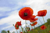 Flower, red poppy (Papaver) , close-up — Stock Photo