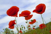 Flowerses, red poppy (Papaver) , close-up — Stock Photo