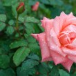 Rose II — Stock Photo