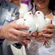 Wedding pigeons in hands of the groom and the bride — Stock Photo #12404756