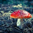 Inedible hazardous to health mushrooms in the forest — Stock Photo