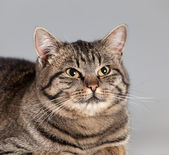 Adult cat on a gray background — Stock Photo