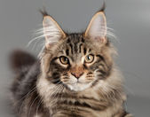 Kitten on a gray background. Maine Coon — Stock Photo