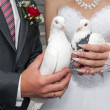Wedding pigeons in hands of the groom and the bride  — Stockfoto