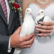 Wedding pigeons in hands of the groom and the bride  — Foto de Stock