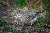 Lark in a grass — Stock Photo