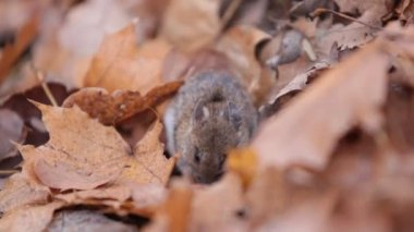 Forest mouse eats nuts found under fallen leaves. Apodemus uralensis — Stock Video
