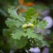 Ripe acorns on the branches of the oak. — Stock Photo