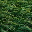 Stock Photo: Ornamental grass in garden