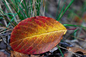 Fallen tree leaf lying on the grass — Stock Photo