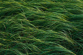 Ornamental grass in the garden — Stock Photo