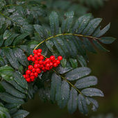 Branch with ripe fruits of rowan. — Stock Photo