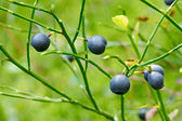 Ripe blueberries on the bush branches — Stock fotografie