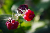 Ripe raspberry on branches of a bush — Stock Photo