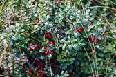 Ripe red bilberry bush branches — Stock Photo