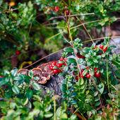 Ripe red bilberry bush branches — Stock Photo