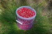 Cranberries in a plastic bucket. — Stock fotografie